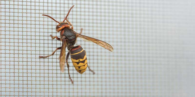 how to handle hornets and wasps in your home Nashville TN
