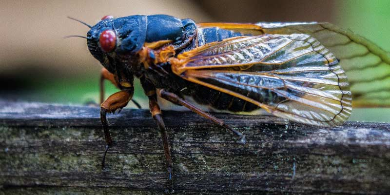 Prepare For a Summer of Cicadas Nashville TN