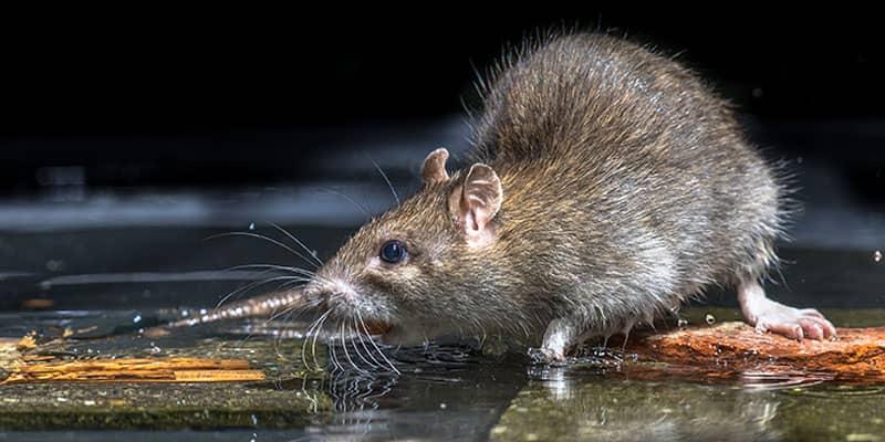 rat mouse infestation nashville, tn